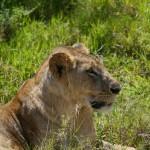 Löwe im Nationalpark